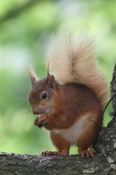 Red Squirrel by Malty