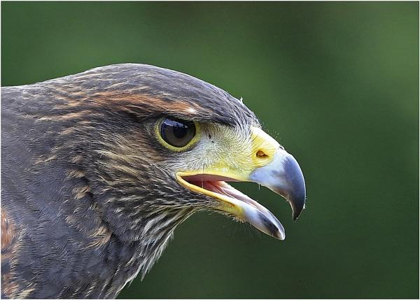 Golden Eagle OR Harris Hawk? by Lillian