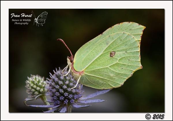 Brimstone Butterfly (male) - Gonepteryx rhamni by daffydill56
