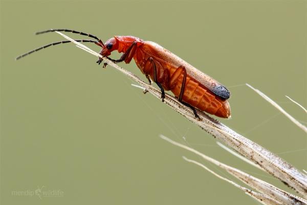 Red Soldier Beetle - Rhagonycha fulva by Mendipman