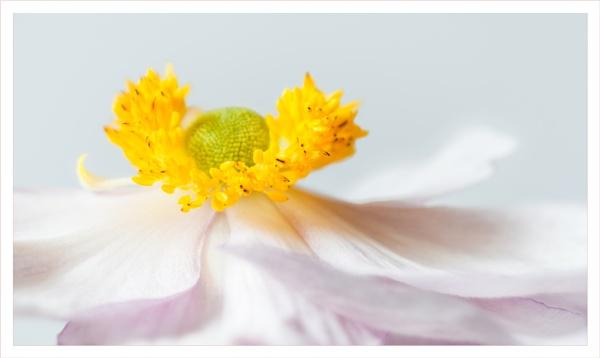 Japanese anemone by DalesLass