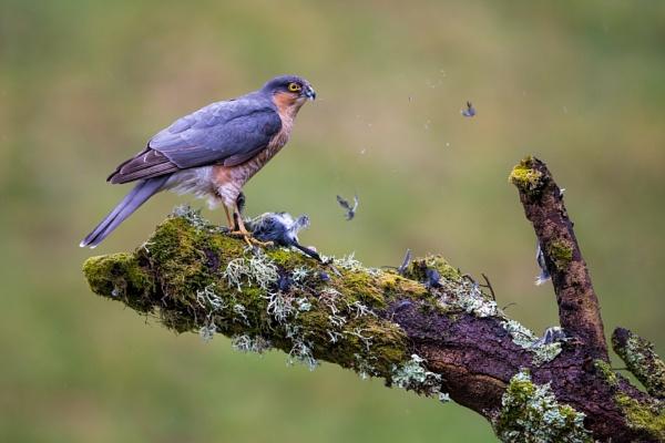 Male Sparrowhawk with prey by KPnut