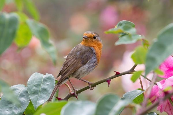 Garden Robin by elowes