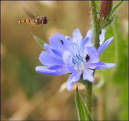 A Chicory landing