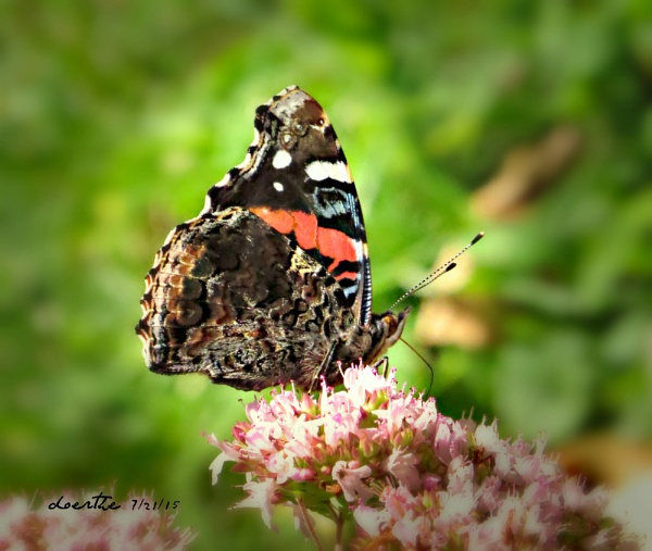Red Admiral by doerthe