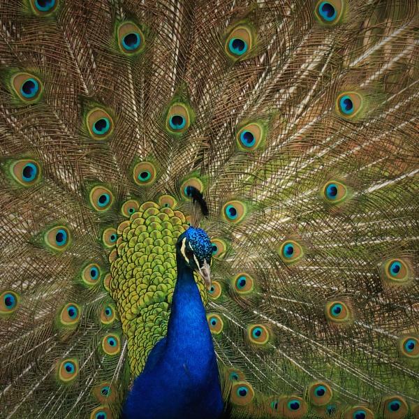 Peacock by Fernowl