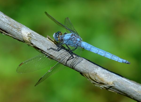 Dragonfly blues by Shedboy