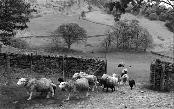 Shepherd herding Sheep by Les_Cornwell
