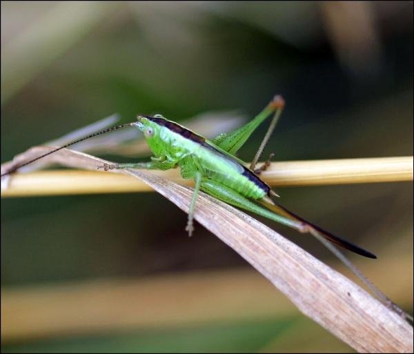 Great Green Bush-cricket.(Tettigonia viridissima) by zerolimits
