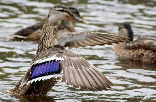 On three...one, two, three...quack quack.... by telfordtrio