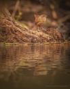 Wren reflections by Kevlar