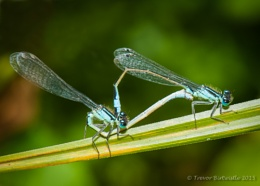 Mating Blue Tailed Damsels