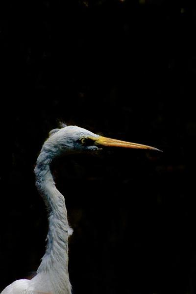 INTERMEDIATE EGRET by JN_CHATELAIN_PHOTOGRAPHY