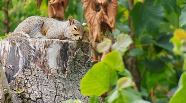 sleepy squirel by THUNDYBUM