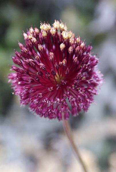 Allium by ChasD