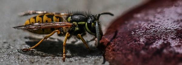 Vimto Wasp by mammarazzi