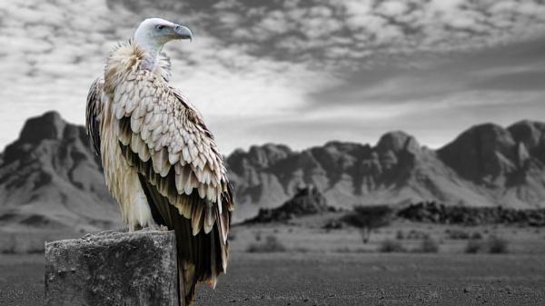Desert Vulture by markst33