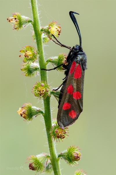 Six Spot Burnet Moth - Zygaena filipendulae by Mendipman