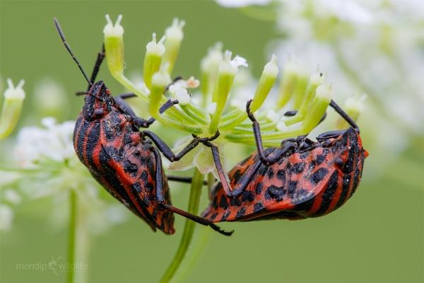 Shieldbug - Graphosoma lineatum by Mendipman