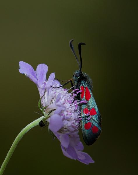 Six Spot Burnet Moth by ali63