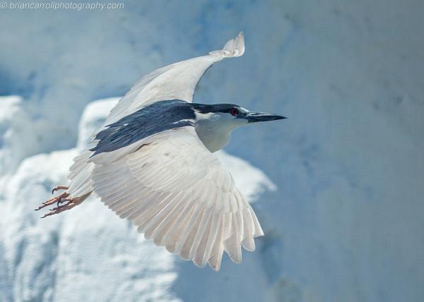 "Black Crowned Niight Heron \""Nycticorax Nycticorax\"" by brian17302"