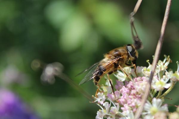 Summer Bee by Ian72