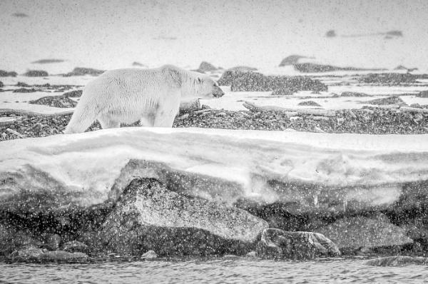 Polar bear in a snow storm by mikeuk
