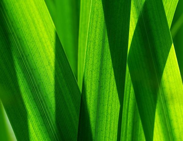 Reeds by victorburnside