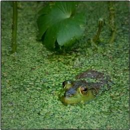 Froggie !