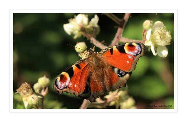 Peacock Butterfly by CarolAnnLauderdale