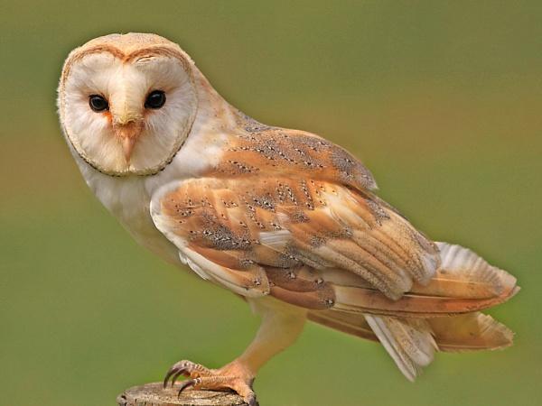 Barn Owl--Tyto alba by bobpaige1