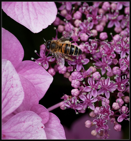 Pink Bee by Morpyre