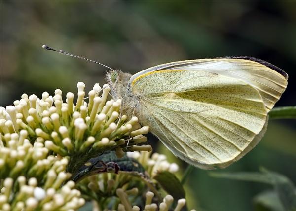 Large White Butterfly (Pieris brassicae) aka Cabbage White by DerekL
