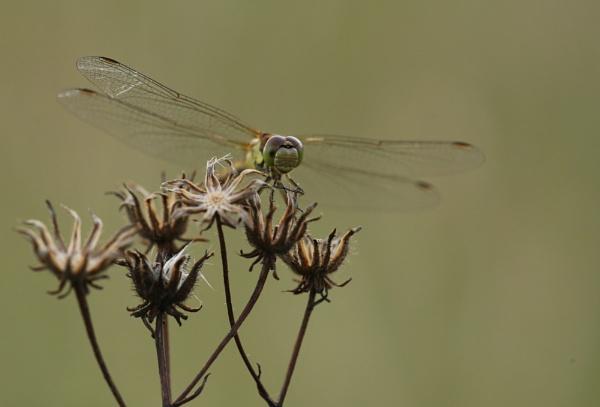 My first dragonfly shot by joewarner