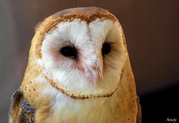 Barn Owl. by newty1