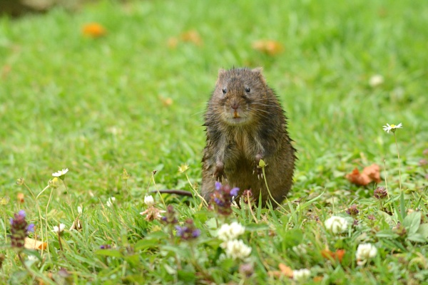 Water Vole by vandalp