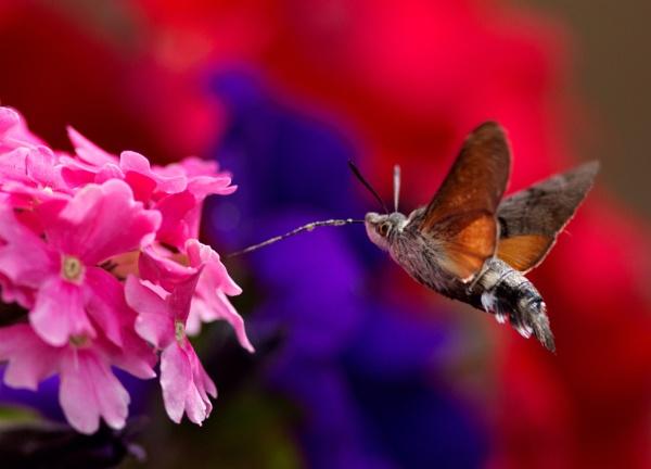 Humming-Bird-Hawk Moth by Kingfisher8