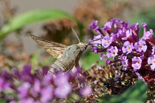 Hummingbird Hawkmoth by cheddar-caveman