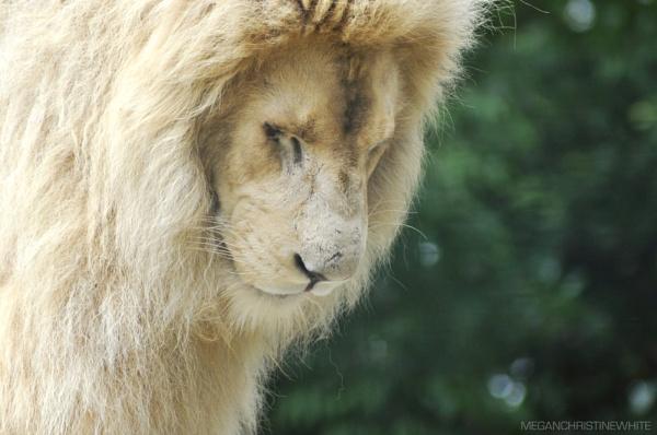 Moto the majestic lion by Meganwhitephotography