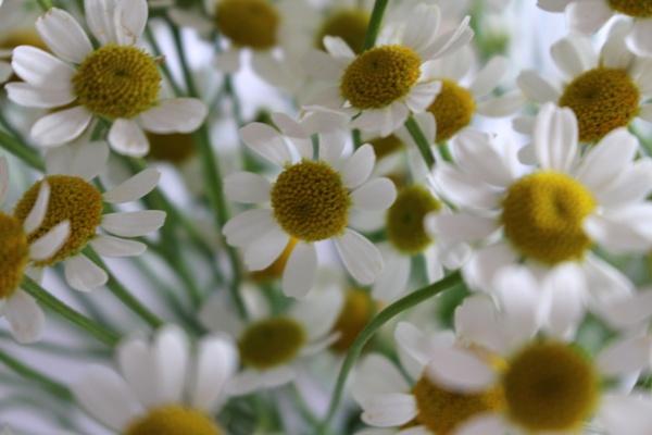 Soft Petals by min