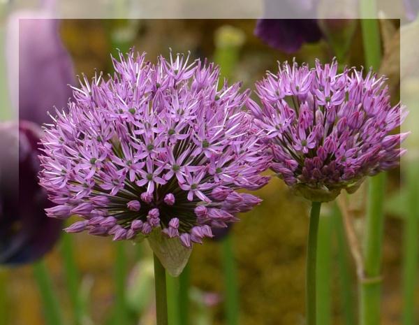 Purple by Suzicoo