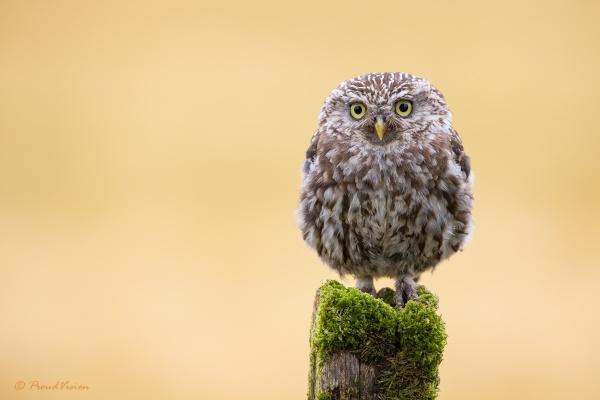 Little Owl 2 by KPnut