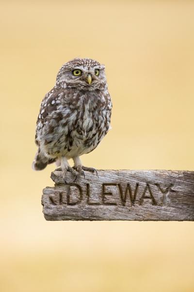 Little Owl, which way..? by KPnut