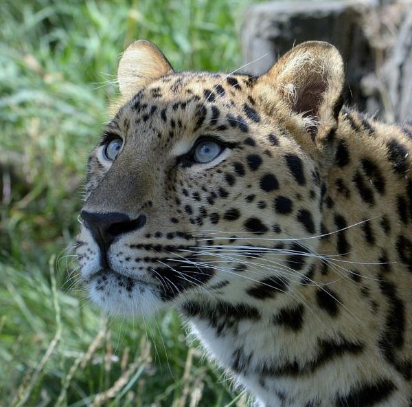 Amur Leopard by Holmewood