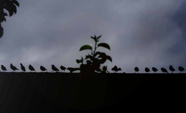 Starlings by martfaulkner