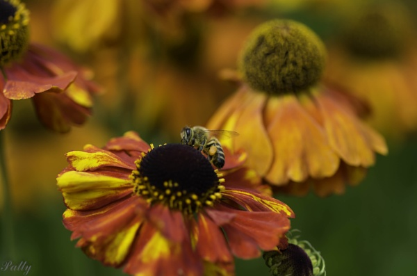 Orange cone flower and bee. by pentaxpatty
