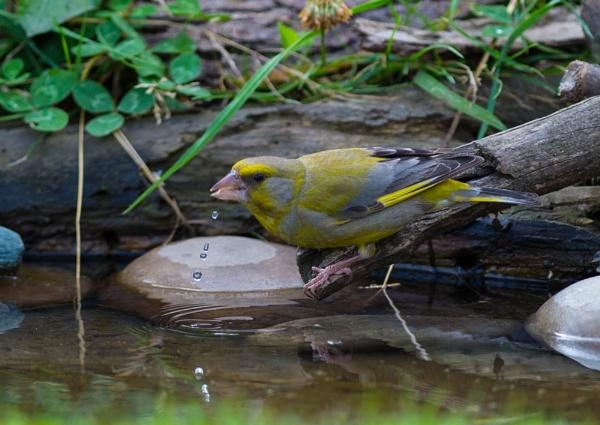 Thirsty Greenfinch by 10delboy