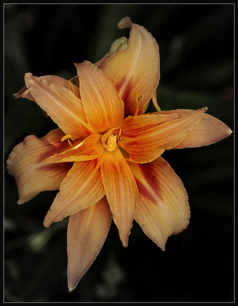 August Lily by Morpyre