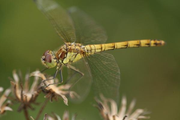 The  dragonfly by joewarner