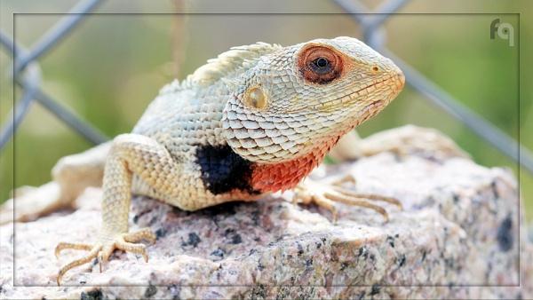 Oriental Garden Lizard by ferozeqasim
